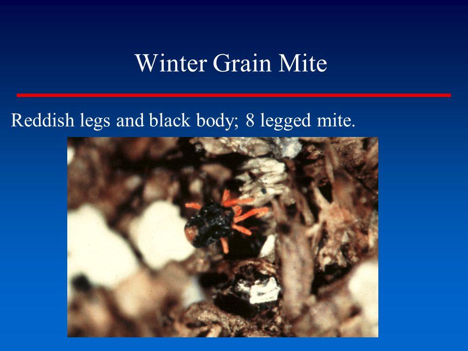 Winter Grain Mite ▪Reddish legs and black body; 8 legged mite.