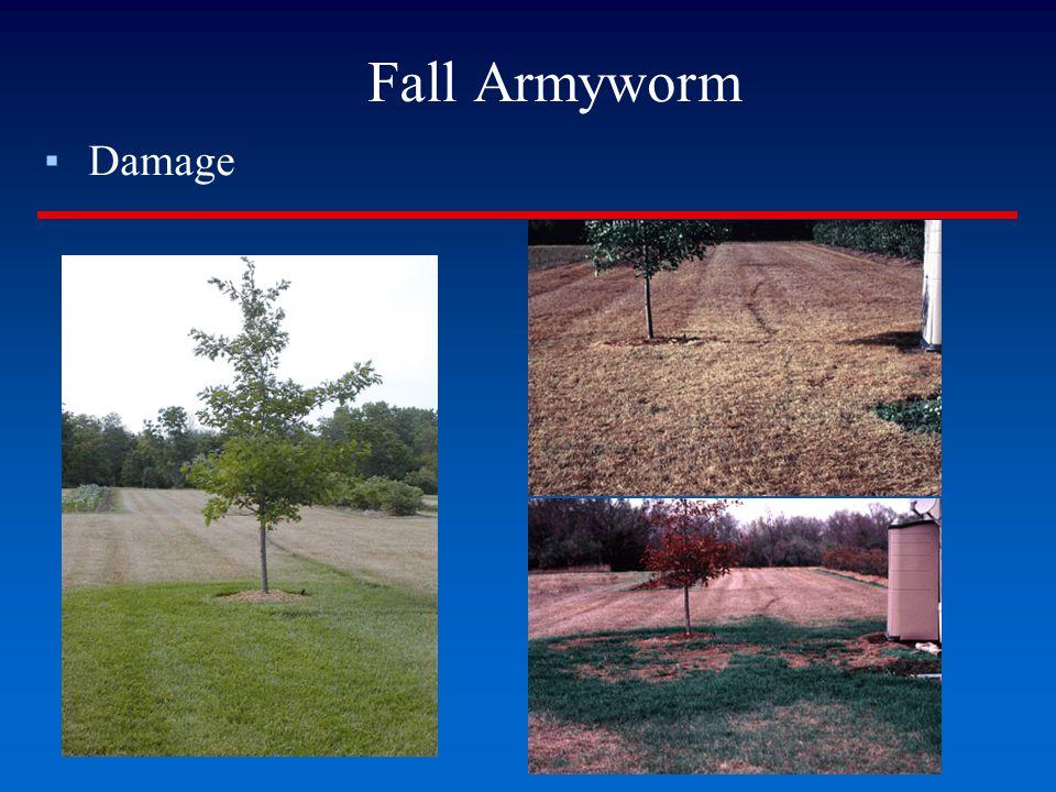 Fall Armyworm ▪Damage