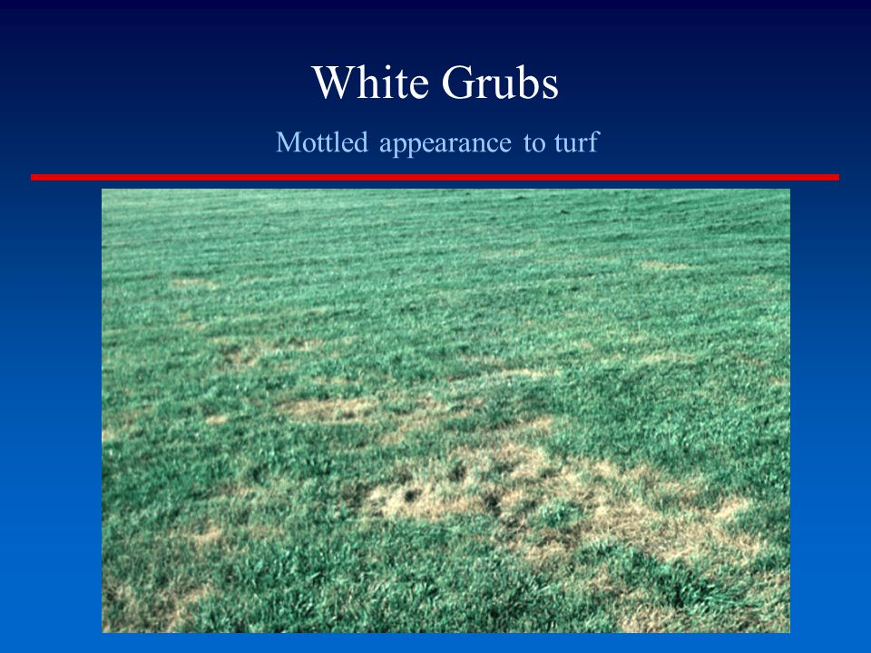 White Grubs Mottled appearance to turf