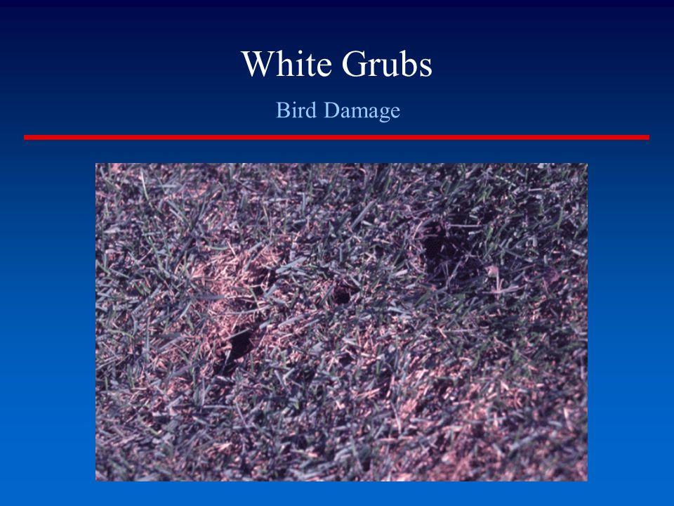 White Grubs Bird Damage