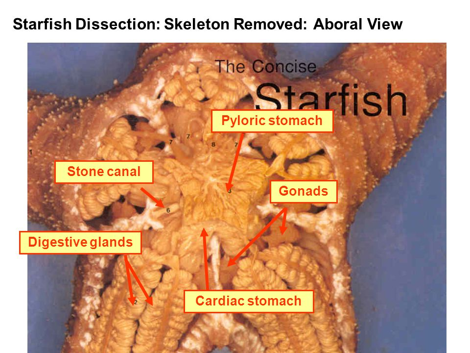 Starfish Dissection: Skeleton Removed: Aboral View Stone canalDigestive glandsGonadsPyloric stomach Cardiac stomach