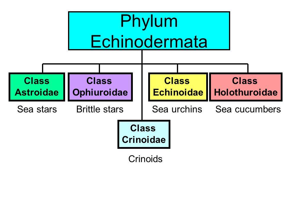 Class Echinoidea: sea urchins Diadema