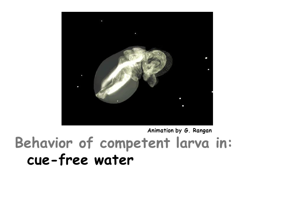 Behavior of competent larva in: cue-free water cue above threshold concentration  SWIMS (0.17cm/s)  SINKS (0.13cm/s) Animation by G.