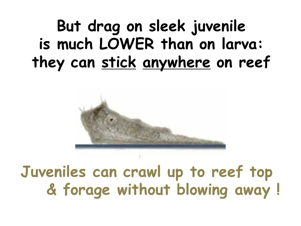 But drag on sleek juvenile is much LOWER than on larva: they can stick anywhere on reef Juveniles can crawl up to reef top & forage without blowing away !