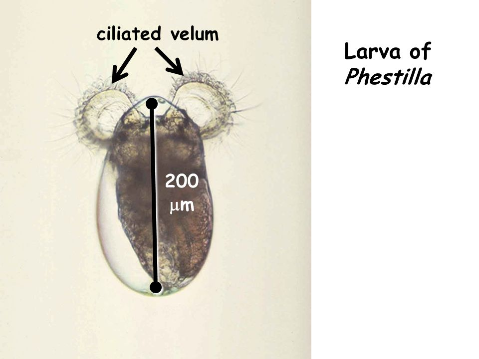 Larva's swimming or sinking velocity (depends on local instantaneous cue concentration at its position in frame of PLIF video) + Local instantaneous ambient water velocity (carrying larva) Larval velocity at each time step = CALCULATE TRAJECTORY OF LARVA