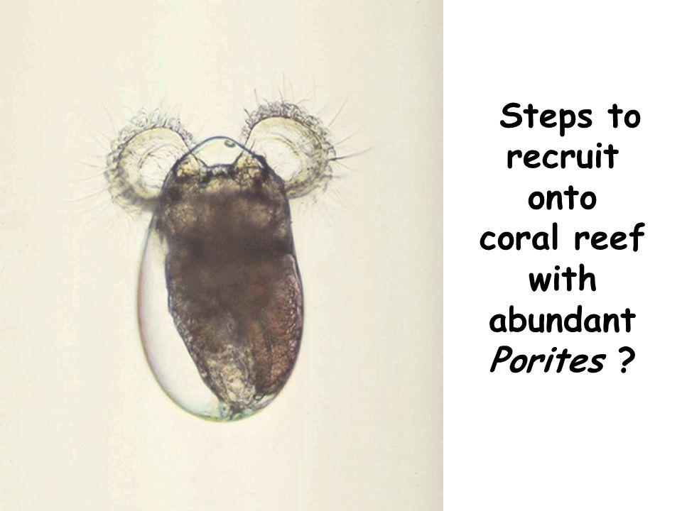 Larva transported to suitable habitat Settlement (attachment) Recruitment (metamorphosis & survival) Porites reef