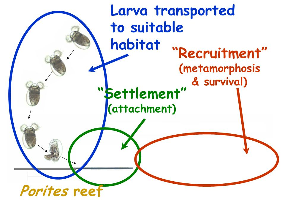 Behavior of competent larva in: cue-free water cue above threshold concentration  SWIMS (0.17cm/s)  SINKS (0.13cm/s) Animation by G.