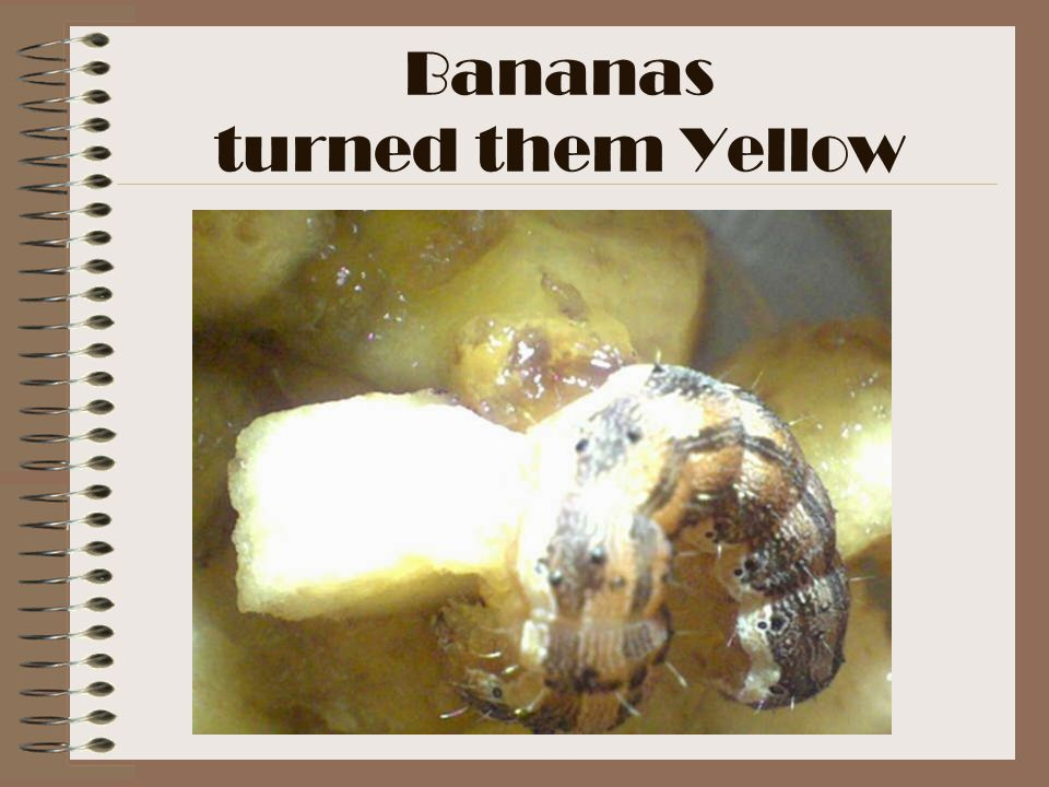 Bananas turned them Yellow