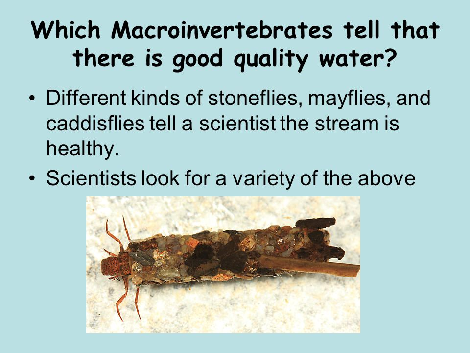 Which Macroinvertebrates tell that there is good quality water.