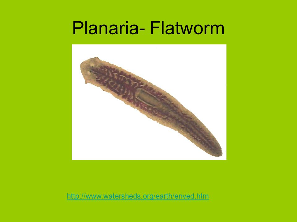 Planaria- Flatworm http://www.watersheds.org/earth/enved.htm