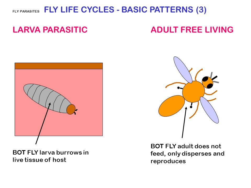 FLY PARASITES FLY LIFE CYCLES - BASIC PATTERNS (3) LARVA PARASITIC ADULT FREE LIVING BOT FLY larva burrows in live tissue of host BOT FLY adult does n