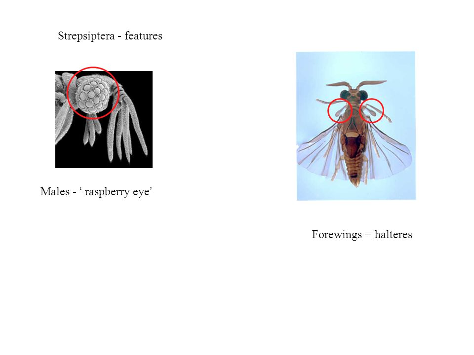 Strepsiptera - features Males - ' raspberry eye' Forewings = halteres