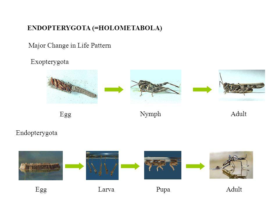 ENDOPTERYGOTA (=HOLOMETABOLA) Major Change in Life Pattern Exopterygota Egg NymphAdult Endopterygota EggLarvaPupaAdult