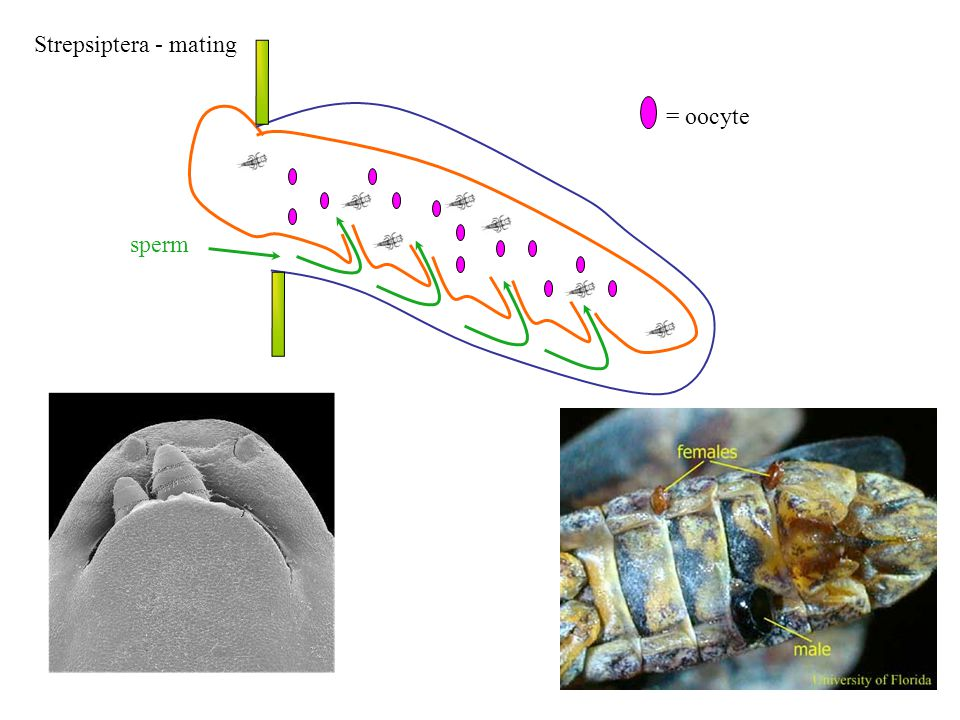 Strepsiptera - mating sperm = oocyte