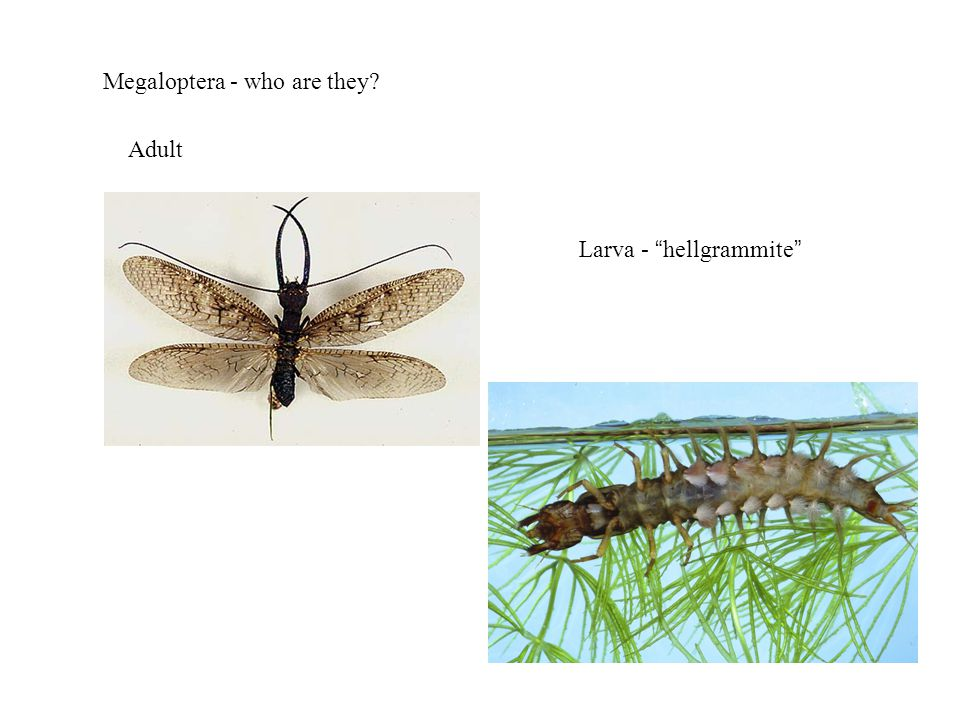 Megaloptera - who are they Adult Larva - hellgrammite