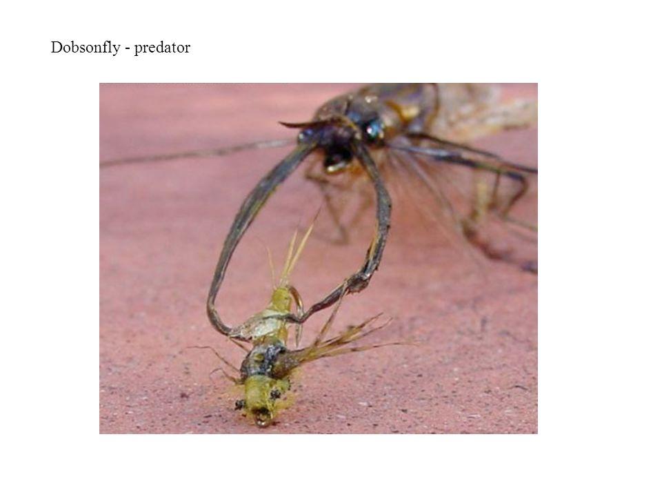 Dobsonfly - predator
