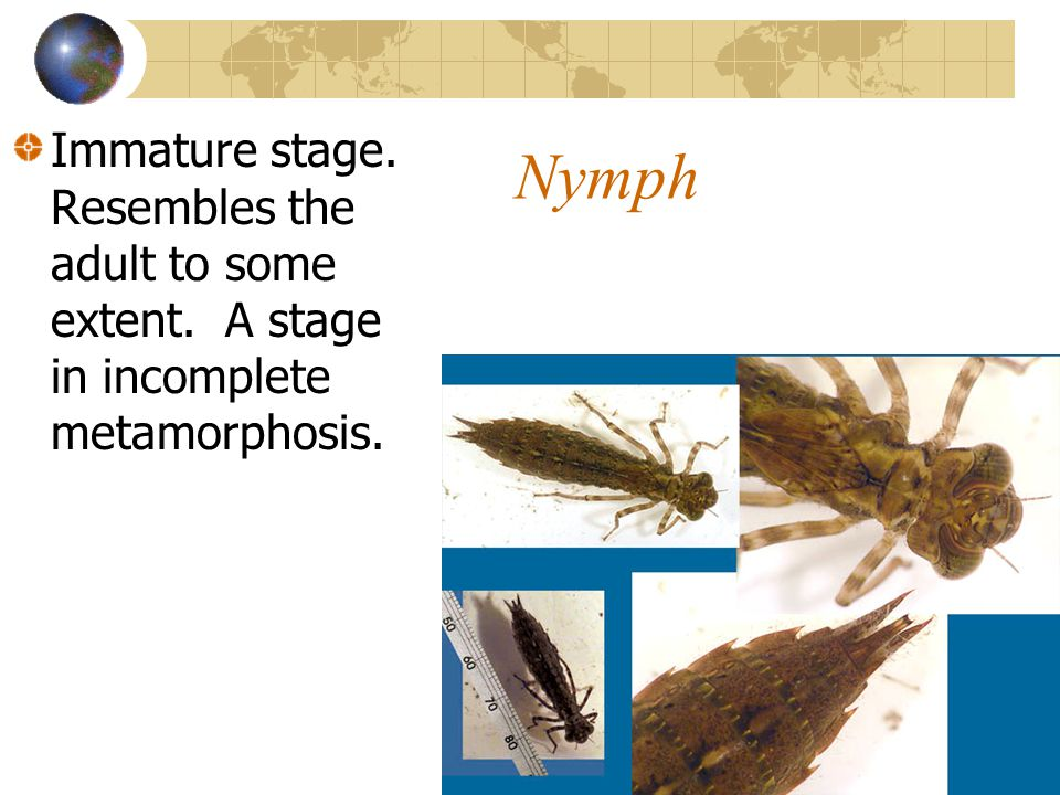 Nymph Immature stage. Resembles the adult to some extent. A stage in incomplete metamorphosis.