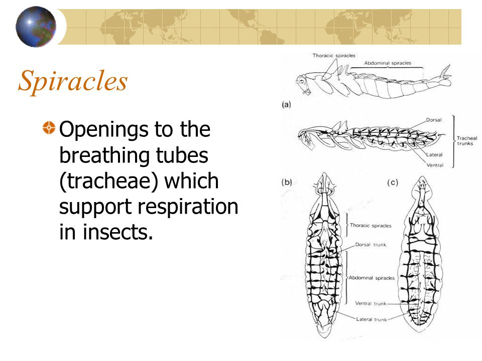 Spiracles Openings to the breathing tubes (tracheae) which support respiration in insects.