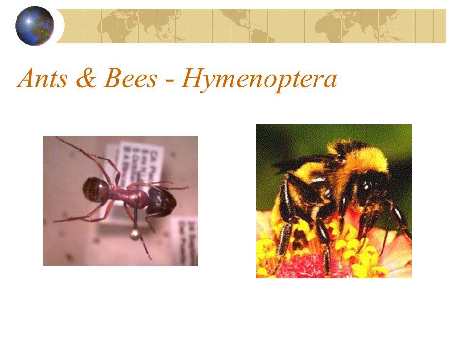 Ants & Bees - Hymenoptera