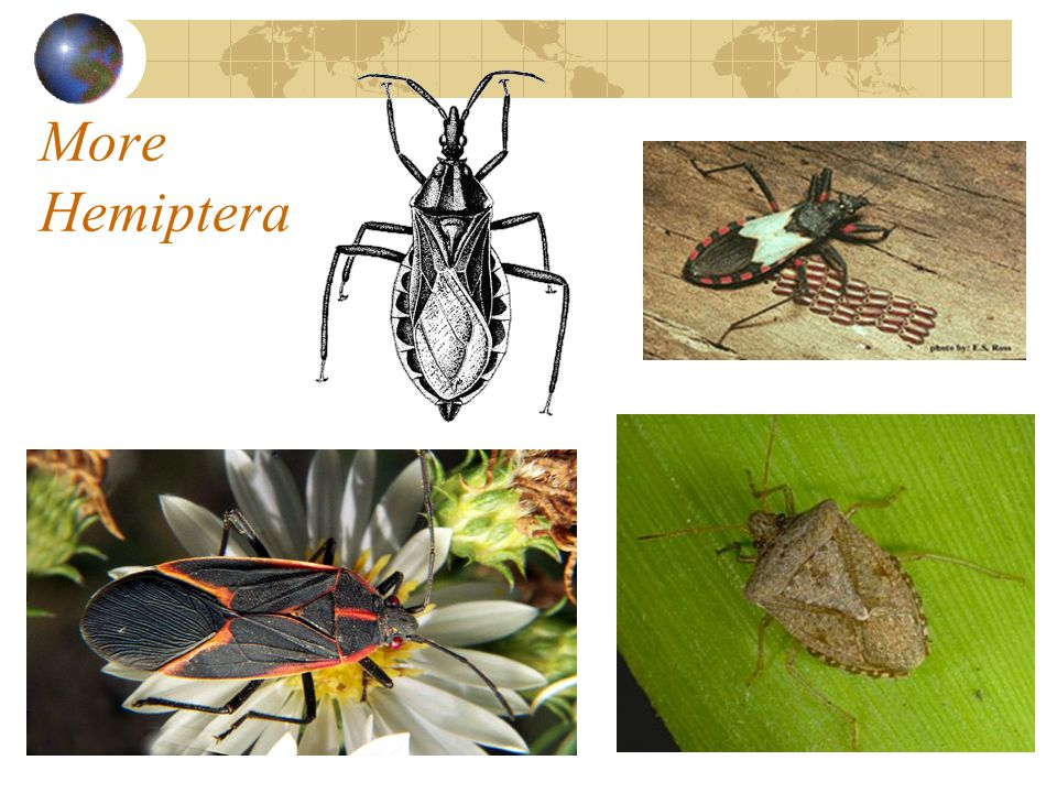 More Hemiptera