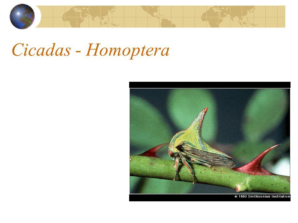Cicadas - Homoptera
