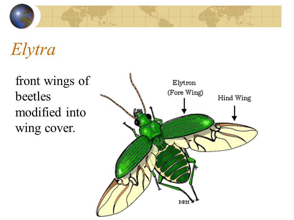 Elytra front wings of beetles modified into wing cover.