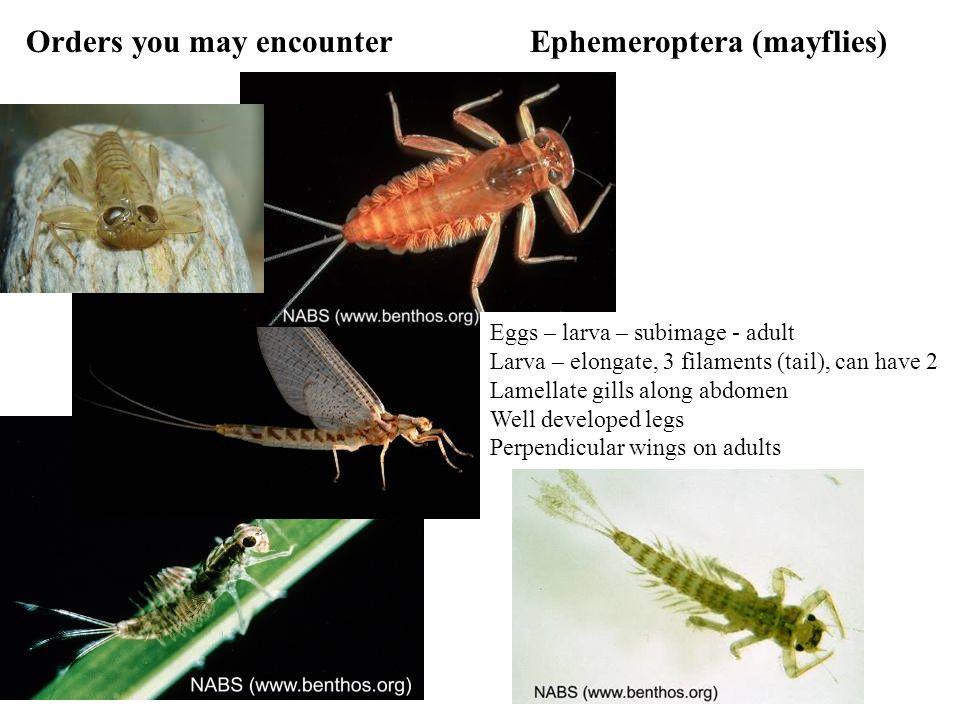 Orders you may encounterEphemeroptera (mayflies) Eggs – larva – subimage - adult Larva – elongate, 3 filaments (tail), can have 2 Lamellate gills along abdomen Well developed legs Perpendicular wings on adults