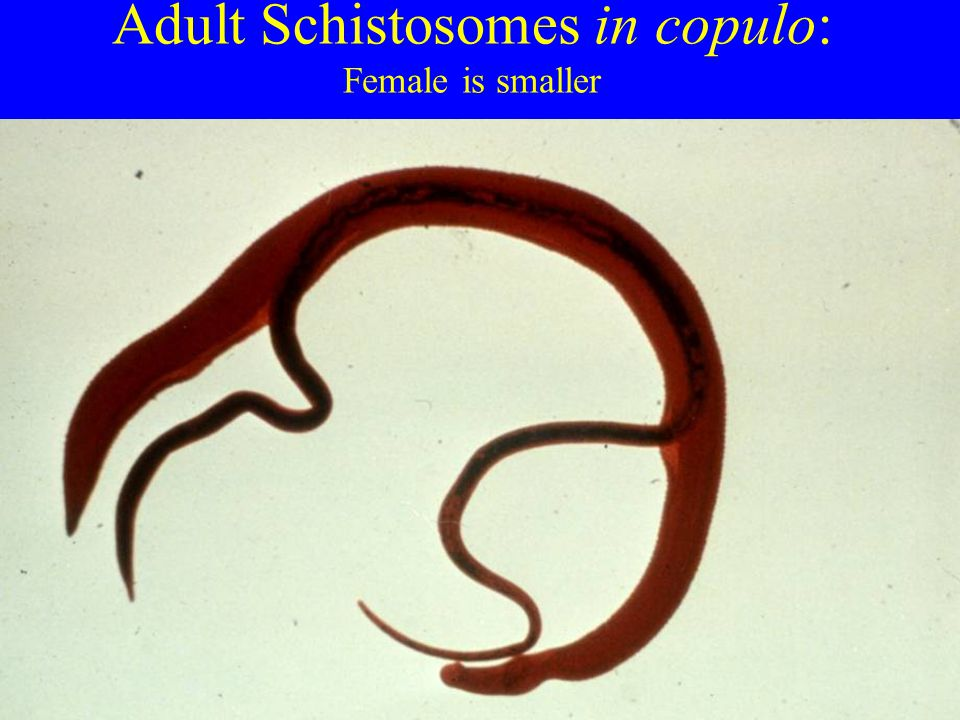Adult Schistosomes in copulo: Female is smaller