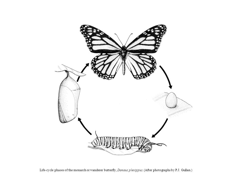 Life-cycle phases of the monarch or wanderer butterfly, Danaus plexippus.