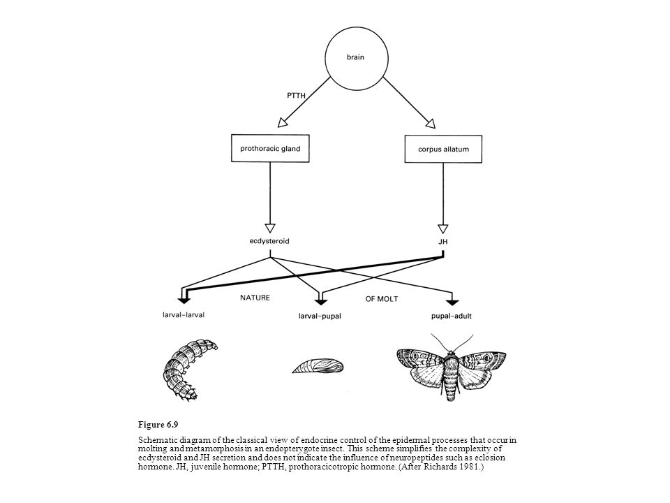 Figure 6.9 Schematic diagram of the classical view of endocrine control of the epidermal processes that occur in molting and metamorphosis in an endop