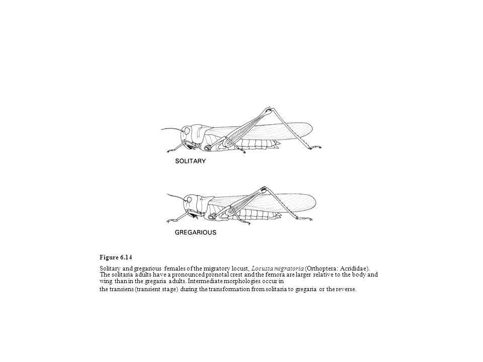 Figure 6.14 Solitary and gregarious females of the migratory locust, Locusta migratoria (Orthoptera: Acrididae).