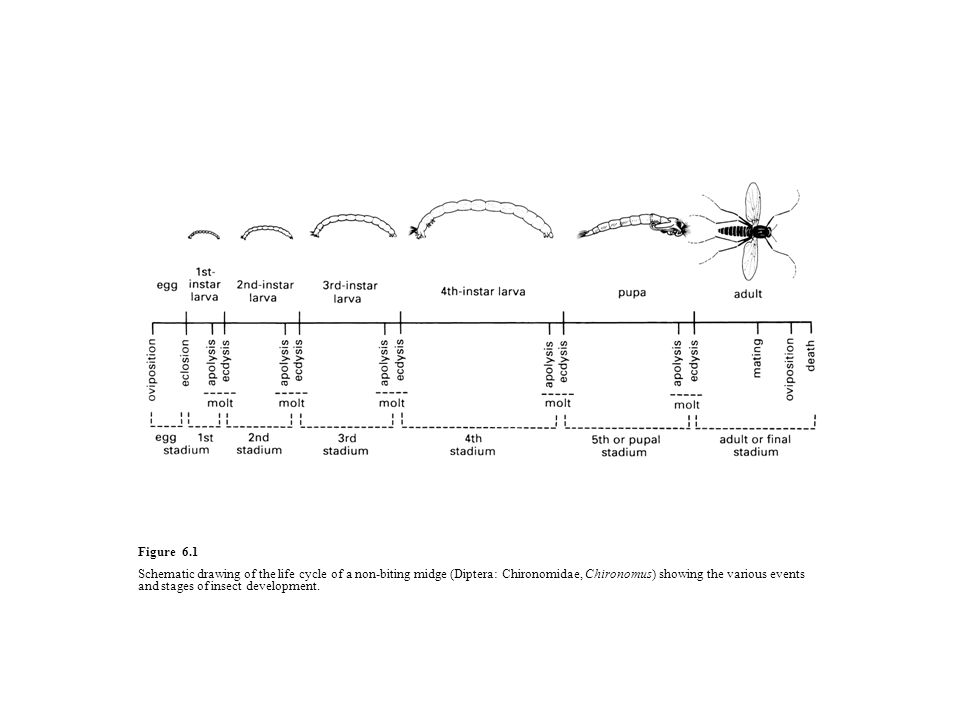 Figure 6.1 Schematic drawing of the life cycle of a non-biting midge (Diptera: Chironomidae, Chironomus) showing the various events and stages of inse