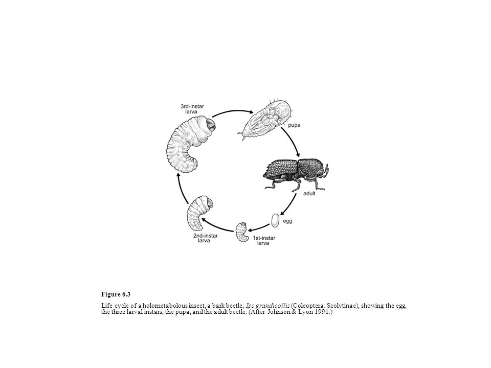 Figure 6.3 Life cycle of a holometabolous insect, a bark beetle, Ips grandicollis (Coleoptera: Scolytinae), showing the egg, the three larval instars, the pupa, and the adult beetle.