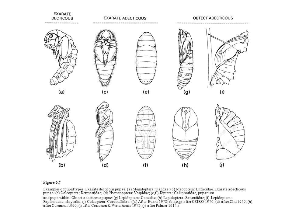 Figure 6.8 The nymphal–imaginal molt of a male dragonfly of Aeshna cyanea (Odonata: Aeshnidae).