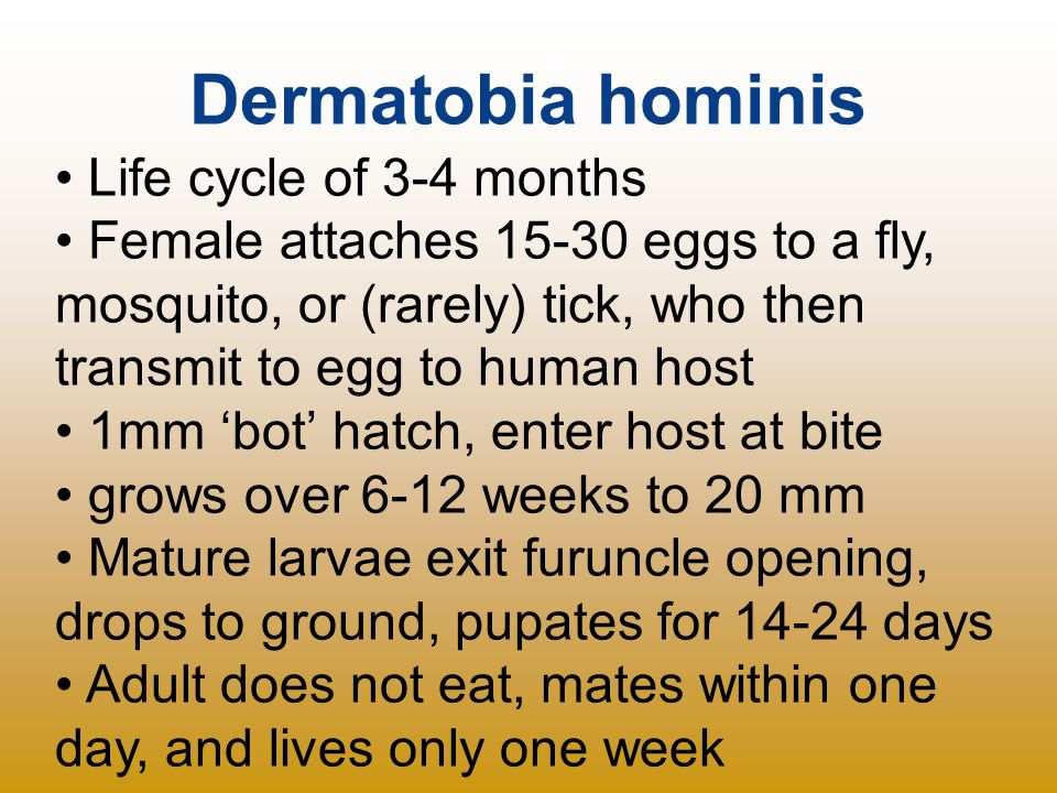 Dermatobia hominis Life cycle of 3-4 months Female attaches 15-30 eggs to a fly, mosquito, or (rarely) tick, who then transmit to egg to human host 1m