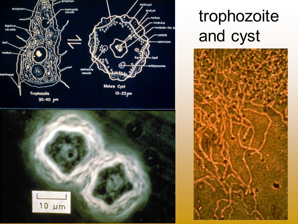 trophozoite and cyst