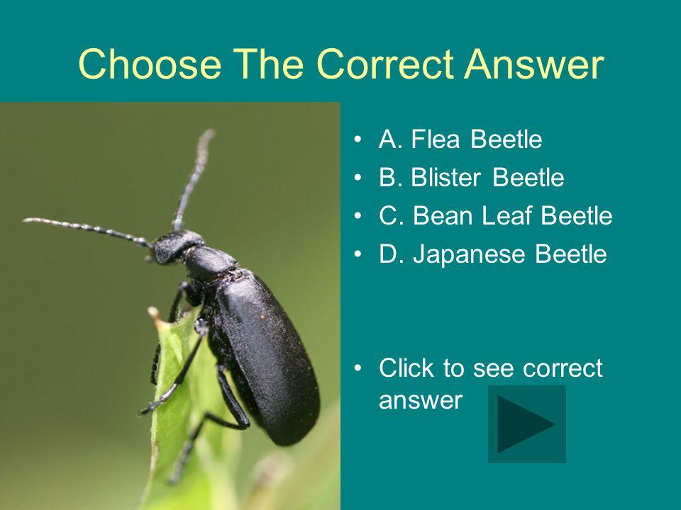 Choose The Correct Answer A. Flea Beetle B. Blister Beetle C. Bean Leaf Beetle D. Japanese Beetle Click to see correct answer