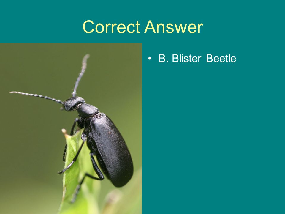 Correct Answer B. Blister Beetle