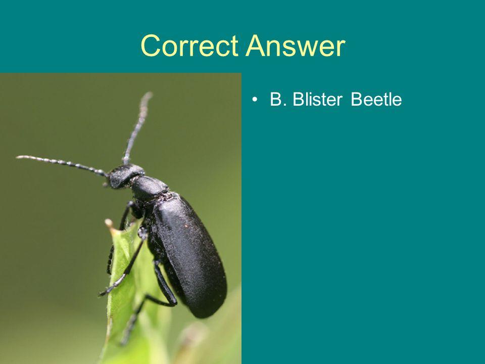 Correct Answer B. Blister Beetle
