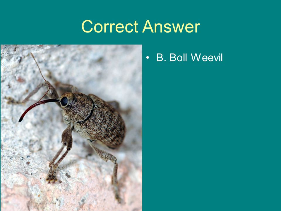 Correct Answer B. Boll Weevil