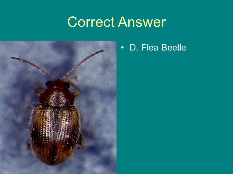 Correct Answer D. Flea Beetle