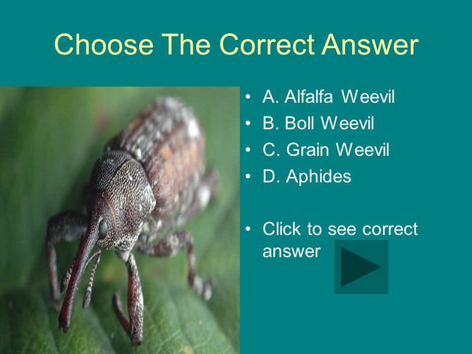 Choose The Correct Answer A.Alfalfa Weevil B. Boll Weevil C.