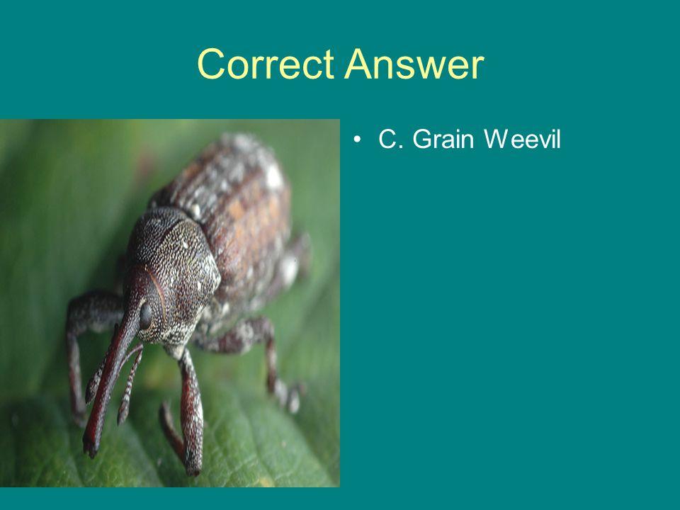 Correct Answer C. Grain Weevil
