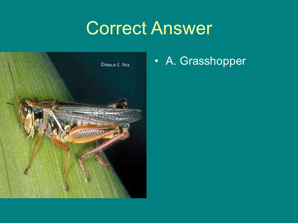 Correct Answer A. Grasshopper