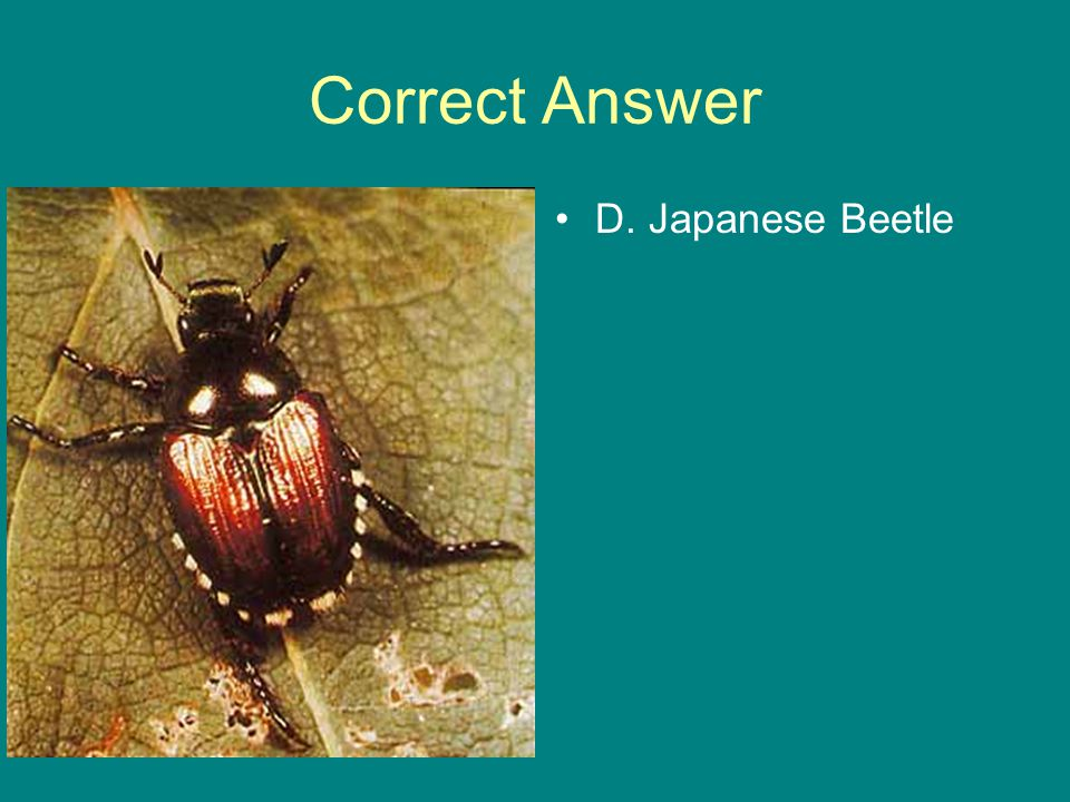 Correct Answer D. Japanese Beetle