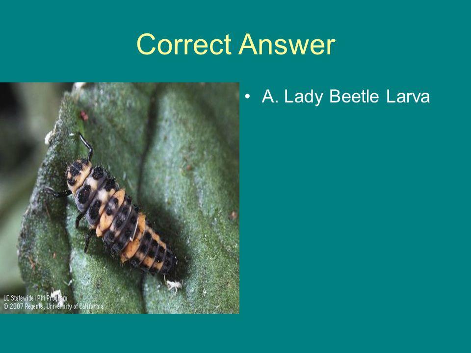 Correct Answer A. Lady Beetle Larva