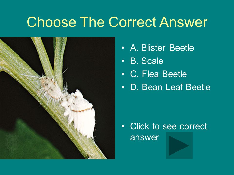 Choose The Correct Answer A.Blister Beetle B. Scale C.