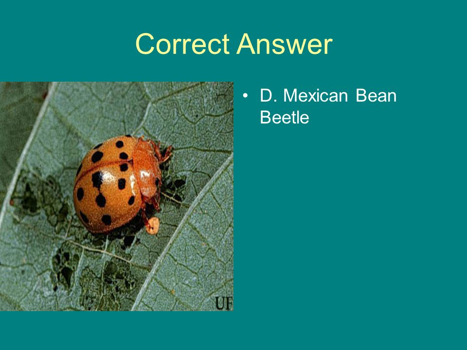 Correct Answer D. Mexican Bean Beetle