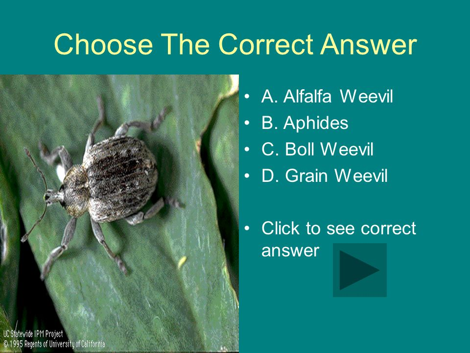 Choose The Correct Answer A. Alfalfa Weevil B. Aphides C.