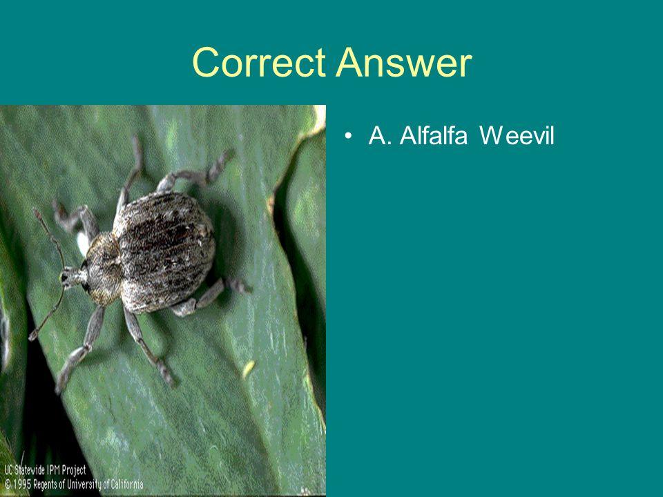 Correct Answer A. Alfalfa Weevil